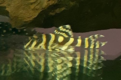 Золотая зебра Гипанциструс L401