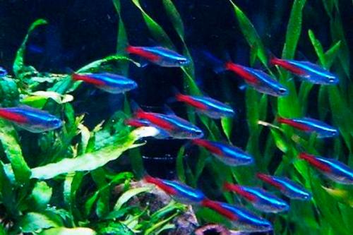Стайные рыбки