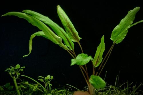 Криптокорина Желтая (Lutea)